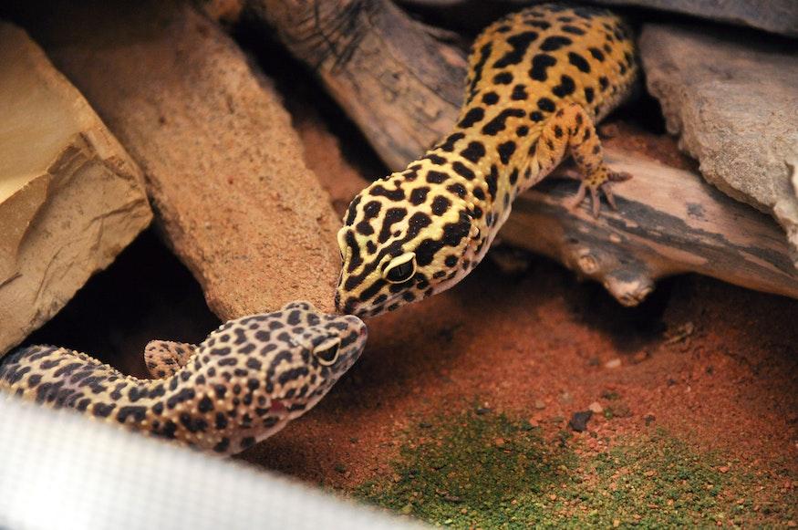 Die Bewohner (Leoparden-Geckos) fühlen sich im Terrarium sichtlich wohl